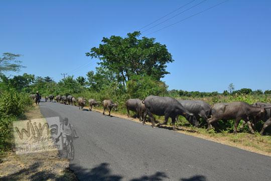barisan kerbau gembala menyeberangi jalan raya di pulau lombok