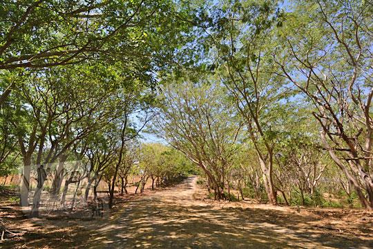 jalan pohon rindang sekaroh jerowaru