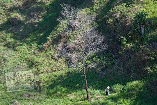 wanita ngarit rumput hutan merapi