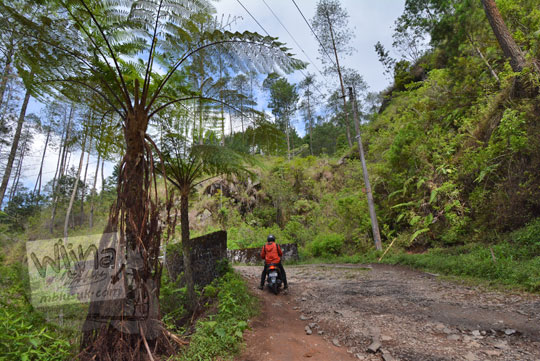 pohon tua di pinggir jalan ke puncak gunung telomoyo dari ngablak magelang