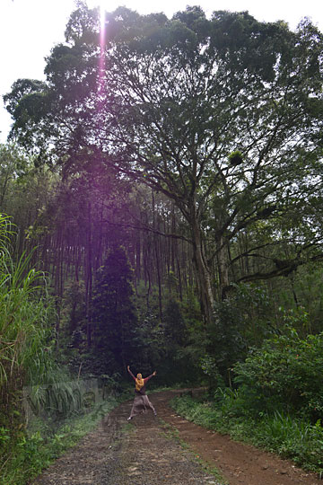 pohon besar di pinggir jalan dusun yang menghubungkan pagergedog dan pranten di jawa tengah