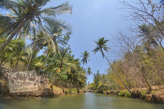 pohon kelapa pinggir sungai cokel pacitan
