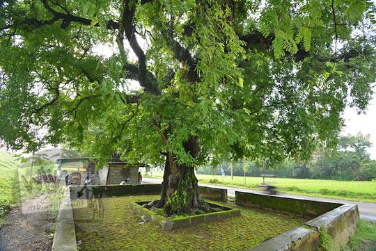 pohon asam besar di pinggir tanggul waduk lalung karanganyar