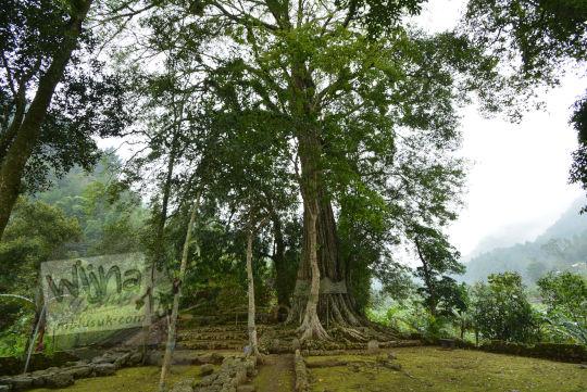 pohon raksasa besar yang tumbuh di situs menggung dusun nglurah tawangmangu karanganyar jawa tengah