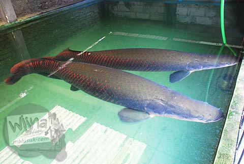 ikan arapaima gigas yang disebut sebagai paimo yang dipelihara warga di Plosokuning, Minomartani, Ngaglik, Yogyakarta di tahun 2010