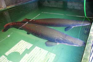 Paimo, Ikan Raksasa dari Minomartani