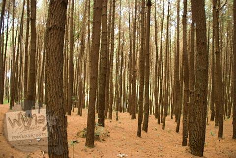Foto lokasi penampakan hantu hutan pinus di Kebun Buah Mangunan, Dlingo, Bantul