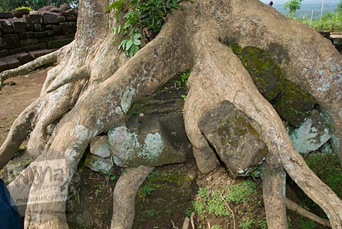 Batu-batu candi terbelit akar pohon besar di Candi Gunungsari, Salam, Magelang pada tahun 2009