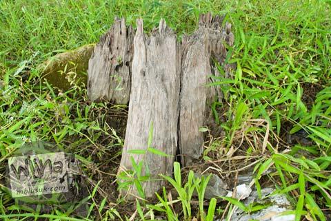 Foto Fosil pohon purba di Candi Kedulan, Kalasan, Yogyakarta pada Januari 2009