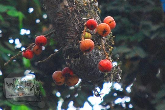 pohon dengan buah kecil berwarna merah rasanya pahit yang tumbuh di sekitar pemandian watugede malang di tahun 2011