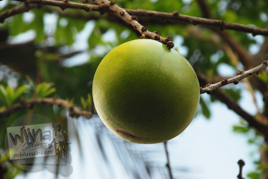 Pohon Maja yang tumbuh berbuah besar di halaman Candi Singosari, Malang pada tahun 2011