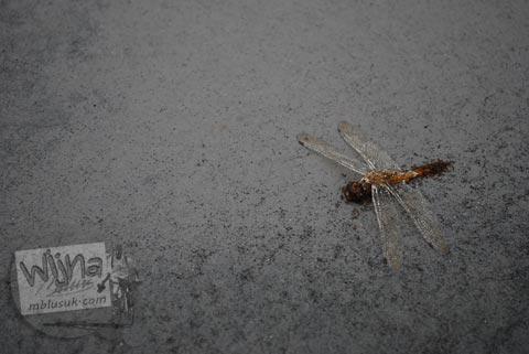 Para serangga mungkin sudah musnah diterjang awan panas pada Oktober 2010