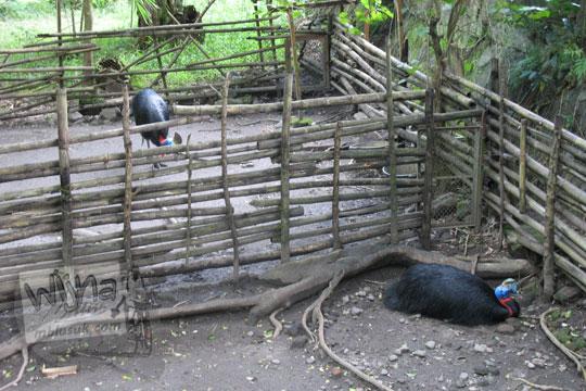 kandang burung kasuari kebun binatang gembiraloka pada zaman dulu di yogyakarta tahun 2006