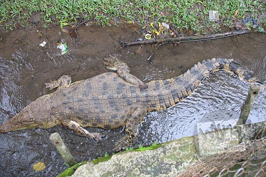 kandang buaya kebun binatang gembiraloka pada zaman dulu di yogyakarta tahun 2006