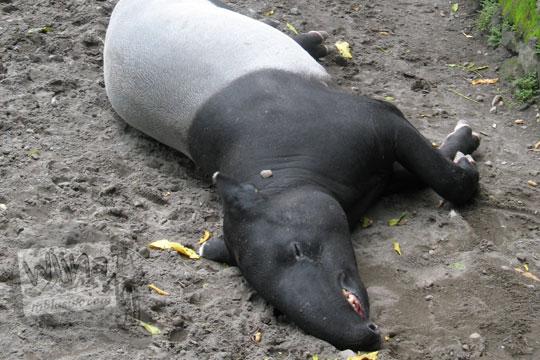 kandang tapir sedang tidur kebun binatang gembiraloka pada zaman dulu di yogyakarta tahun 2006