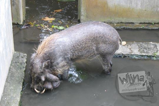 kandang babi rusa kebun binatang gembiraloka pada zaman dulu di yogyakarta tahun 2006