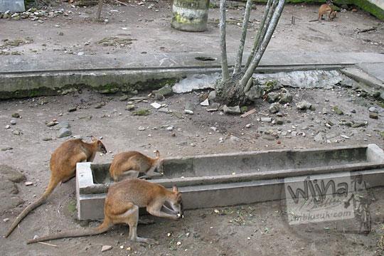 kandang kangguru kebun binatang gembiraloka pada zaman dulu di yogyakarta tahun 2006