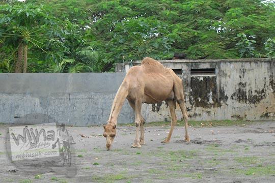 kandang unta punuk satu kebun binatang gembiraloka pada zaman dulu di yogyakarta tahun 2006