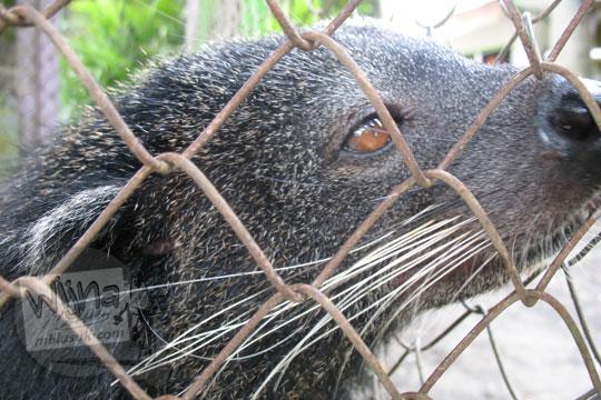 kandang berang berang kebun binatang gembiraloka pada zaman dulu di yogyakarta tahun 2006