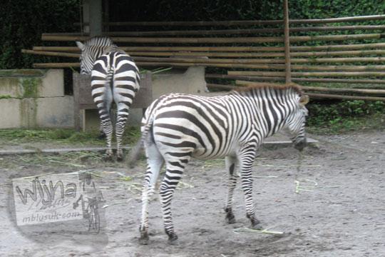 kandang zebra kebun binatang gembiraloka pada zaman dulu di yogyakarta tahun 2006