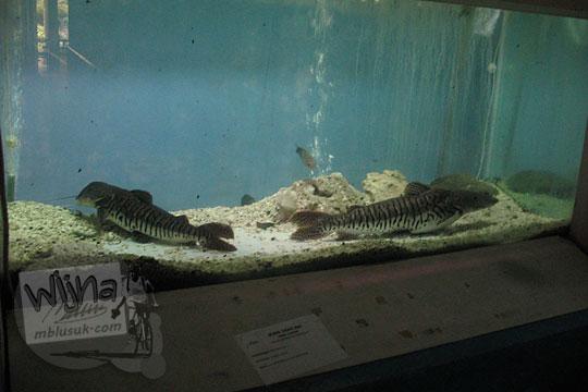 akuarium ikan macan kebun binatang gembiraloka pada zaman dulu di yogyakarta tahun 2006