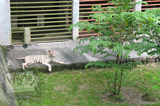 kandang harimau putih kebun binatang gembiraloka pada zaman dulu di yogyakarta tahun 2006