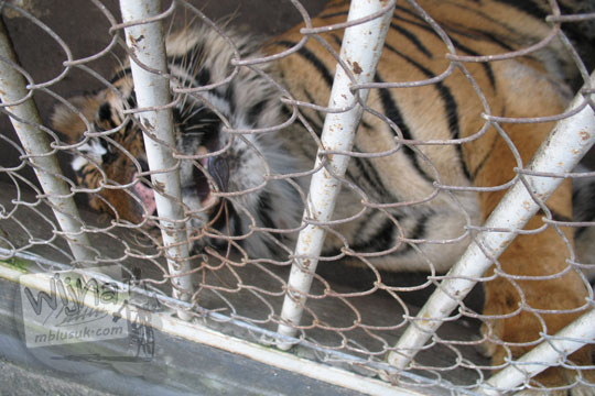 kandang harimau yang tidur sakit kebun binatang gembiraloka pada zaman dulu di yogyakarta tahun 2006