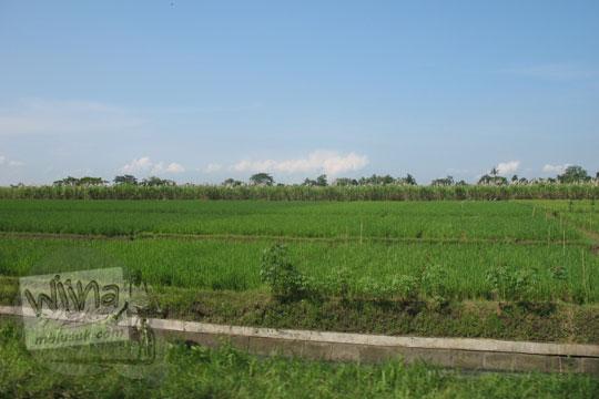 pemandangan sawah di sepanjang jalan baki sukoharjo