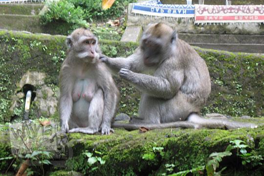 tingkah dua monyet liar di grojogan sewu tawangmangu