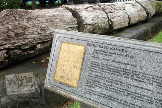informasi fosil kayu kamper di taman manggala wanabakti pada zaman dulu