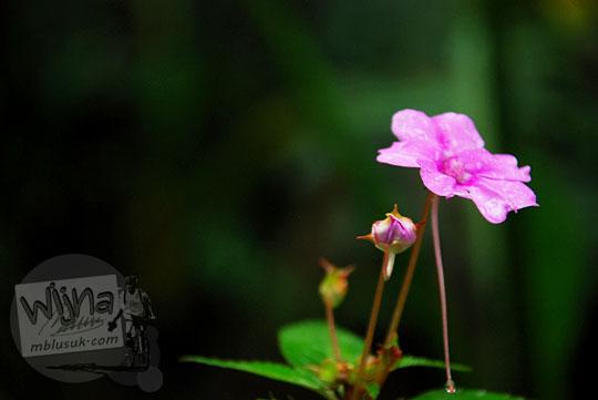 foto makro bunga yang tumbuh di hutan sekitar gua kiskendo