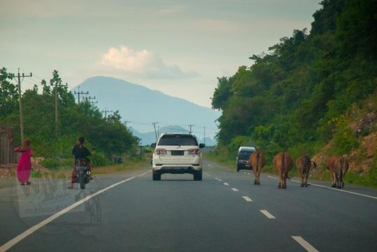 pemandangan manusia, mobil, mobil, dan sapi dalam satu jalan raya di Aceh