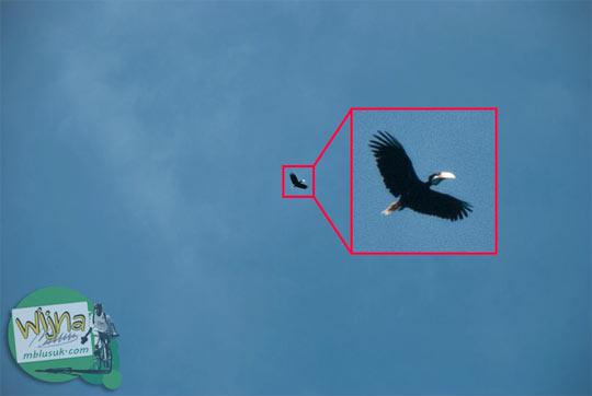 foto burung rangkong terbang langit Aceh Besar pada zaman dulu september 2014