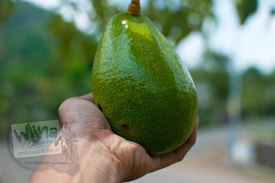 Buah alpukat yang menjadi buah khas produksi Dusun Nogosari di Desa Nawungan, Selopamioro, Imogiri, Bantul, Yogyakarta pada kunjungan zaman dulu November 2014