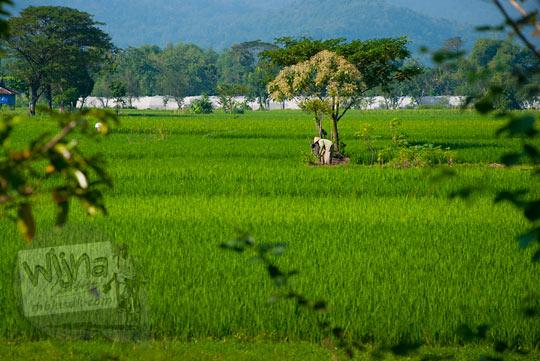 Suasana persawahan di Kecamatan Bayat, Klaten pada zaman dulu Mei 2013