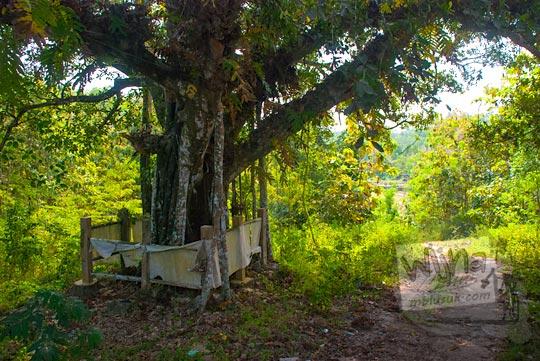 Pohon keramat dan mistis yang tumbuh di dekat Telaga Sumurwuni yang ada di Kecamatan Panggang, Gunungkidul pada zaman dulu Juni 2014