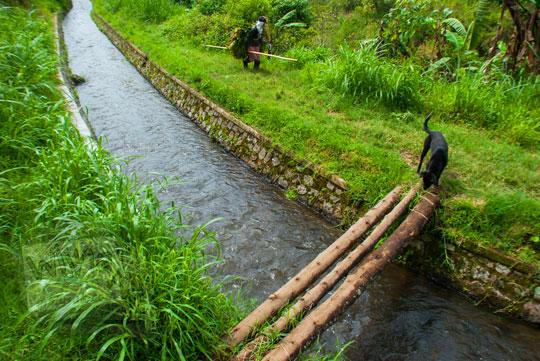 foto seekor anjing menyeberangi jembatan bambu di atas saluran irigasi ke air terjun coban talun di kota batu jawa timur zaman dulu pada november 2014
