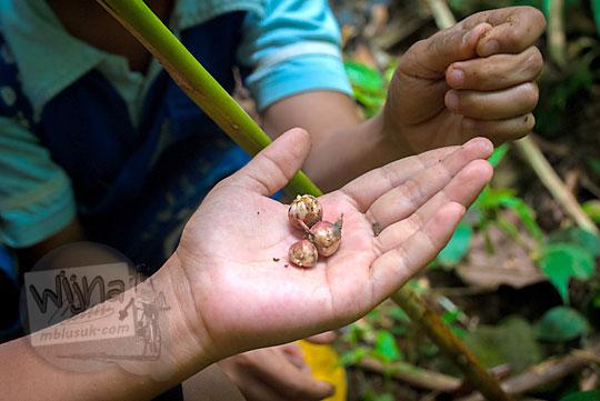 Biji Kapulaga dari hutan dusun beteng girimulyo kulon progo