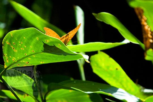 jenis-jenis kupu-kupu yang hidup di sekitar air terjun Bantimurung, Sulawesi Selatan