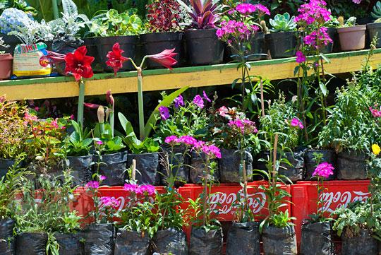 bunga-bunga indah warna-warni yang dijual di tinggi moncong, malino, sulawesi selatan