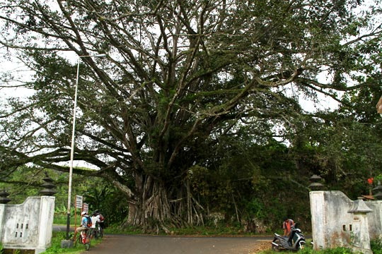 pohon beringin besar dekat pertigaan arah ke Pantai Gesing di Kecamatan Panggang, Gunungkidul