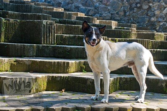 anjing-anjing liar berkeliaran di kawasan Sendangsono, Kalibawang