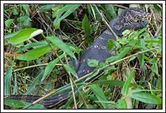 Biawak di Green Canyon, Ciamis