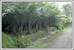 Lokasi kebun salak Yogyakarta dijual murah dan luas ada sungai di dalamnya