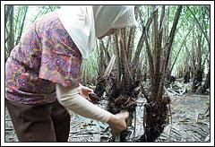 Memetik salak di kebun salak Yogyakarta pada tahun 2008